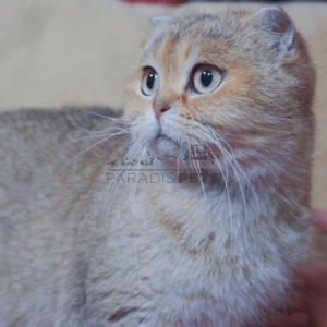 Gato Scottish Fold Paradis Pets Thumbnail